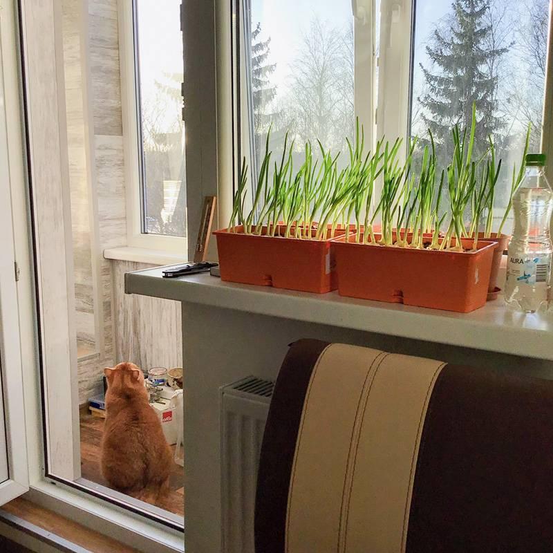 Выращиваю лук на подоконнике
