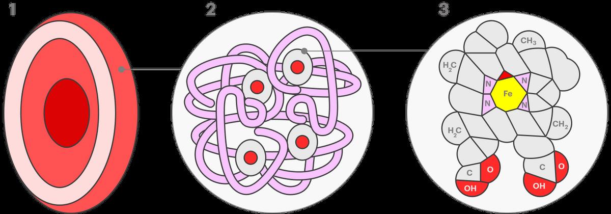 Эритроцит (1) состоит из мембраны, заполненной дыхательным белком гемоглобином (2). В состав гемоглобина входит белок глобин, обозначенный фиолетовым, и гем (3) — сложная молекула с атомом железа в центре. Сложное строение гема позволяет железу присоединять кислород
