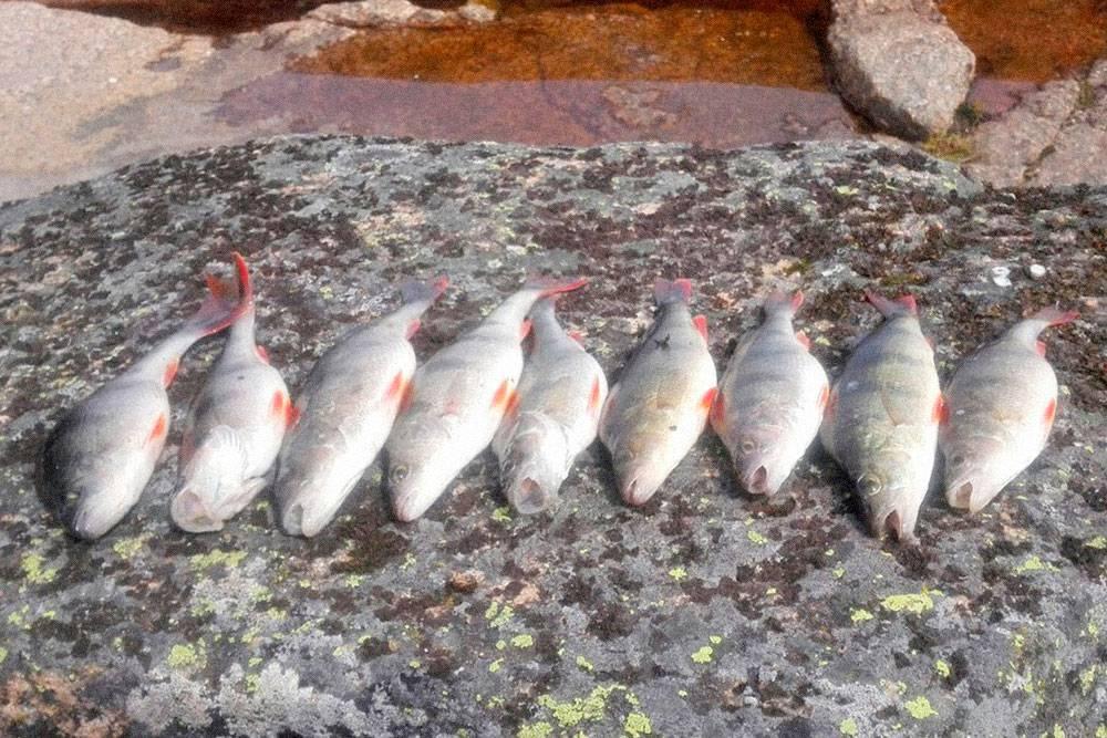 Когда улова нет — едим заначку, когда улов есть — готовим его. Однажды поймали девять окуней