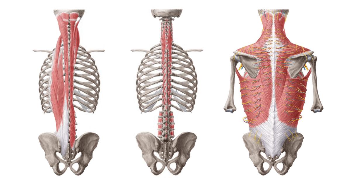 Мышцы спины расположены послойно. Глубоко расположенные мышцы соединяют позвонки друг с другом, а широкие поверхностные мышцы обеспечивают движение и формируют спину