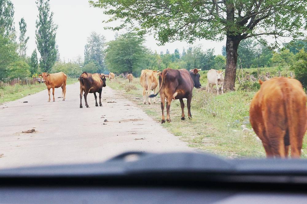 Мы постоянно видели такую картину на дорогах. Коров нет только на скоростных трассах: они огорожены по бокам отбойниками, заборами или располагаются на возвышенности