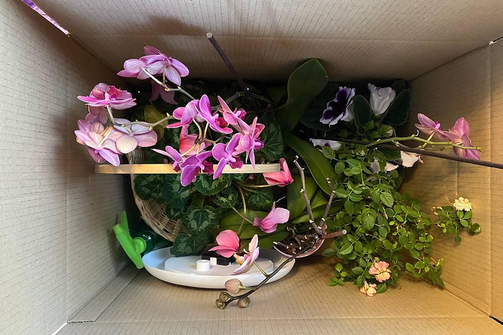 Цветы я перевозила в коробках. Очень боялась, что они погибнут после такого стресса