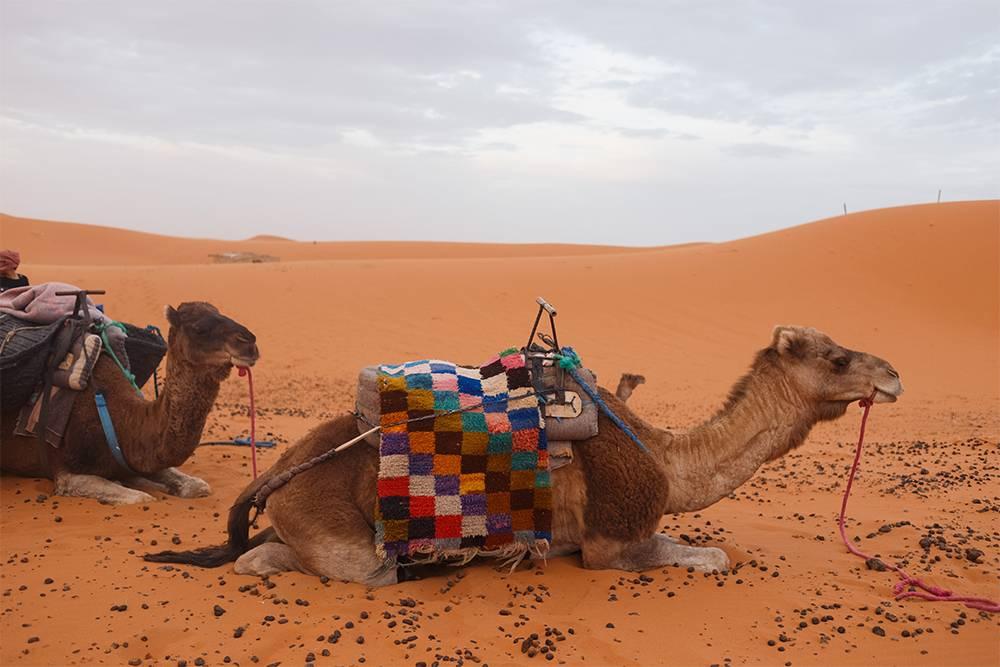 Берберы используют верблюдов как транспорт и туристический аттракцион. Еще они едят их мясо и пьют молоко