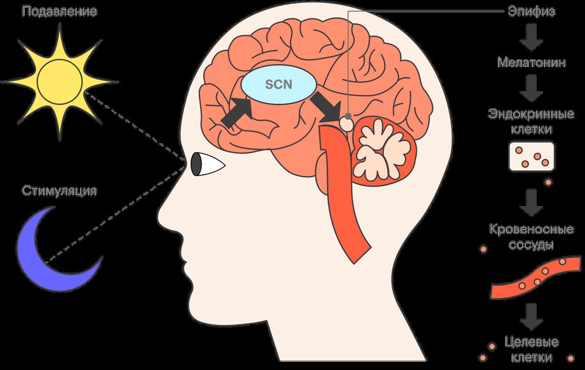 Глаза оповещают SCN о времени суток, и оно решает, порали эпифизу стимулировать мелатонин
