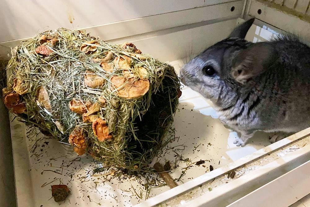 Развлечь шиншиллу можно съедобным туннелем. Он покрыт сеном, травяными гранулами и сушеными овощами и фруктами. Внутрь Лаки пока не рискует забираться