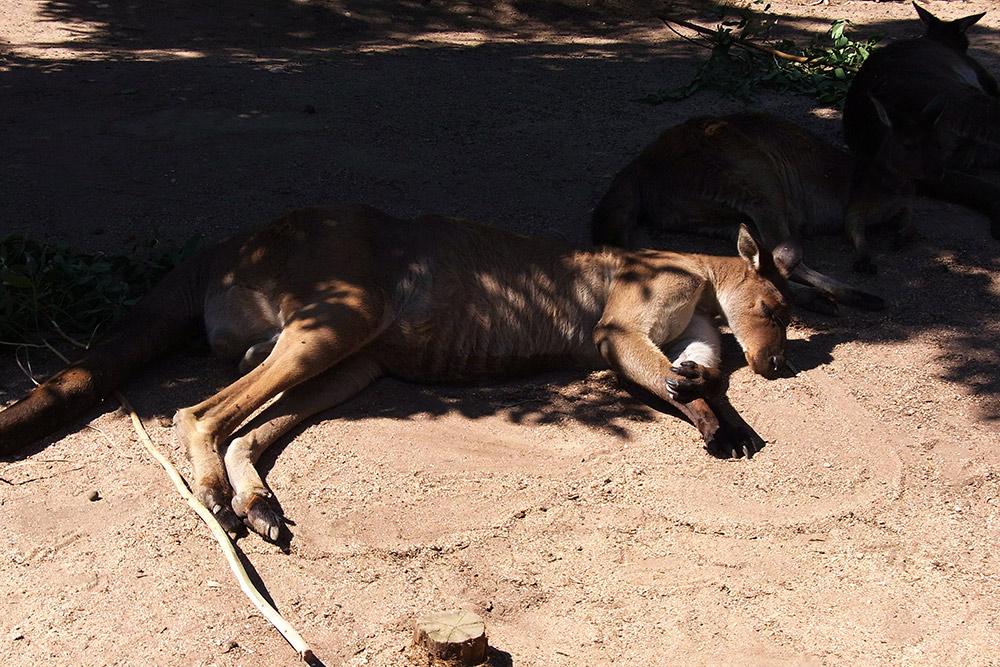Дикие кенгуру в Австралии встречаются только за городом, но в Мельбурне есть зоопарк, где разрешено заходить в вольеры
