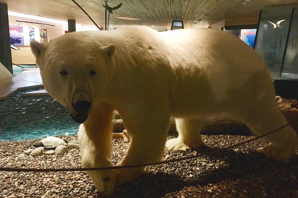 Белый медведь в музее Шпицбергена в Лонгйире. Пожалуй, это единственный шанс увидеть его так близко и остаться в живых