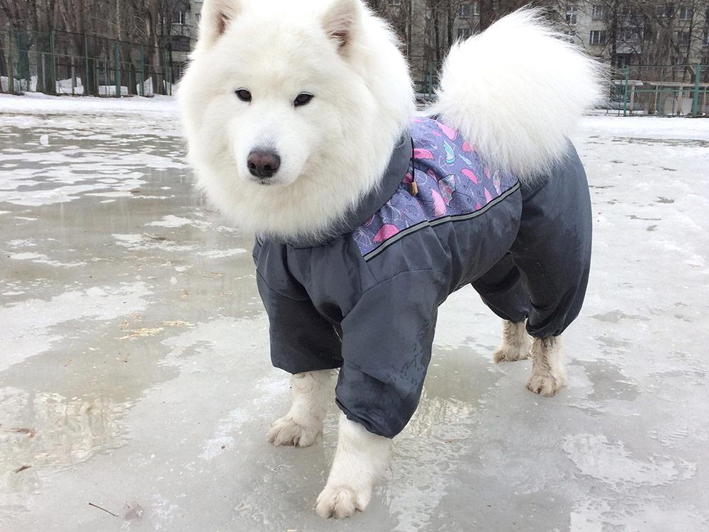 В грязную погоду собаку одевают в комбинезон, чтобы не мыть целиком после каждой прогулки