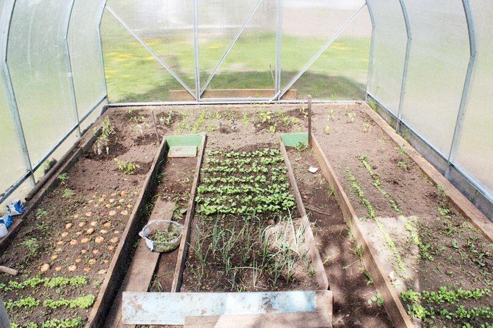 Первую зелень я сажаю в теплице в конце апреля — и собираю урожай до конца лета