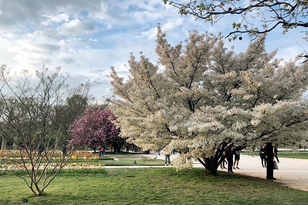 К родителям идем через ботанический сад, где как раз цветут вишневые деревья
