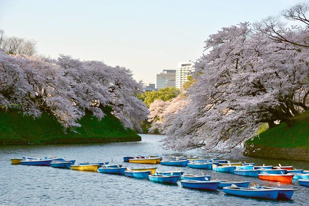 Зато в начале весны во всем городе расцветает сакура