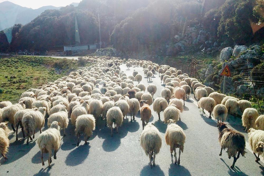 Иногда на дорогу выходят козы кри-кри или целые отары овец