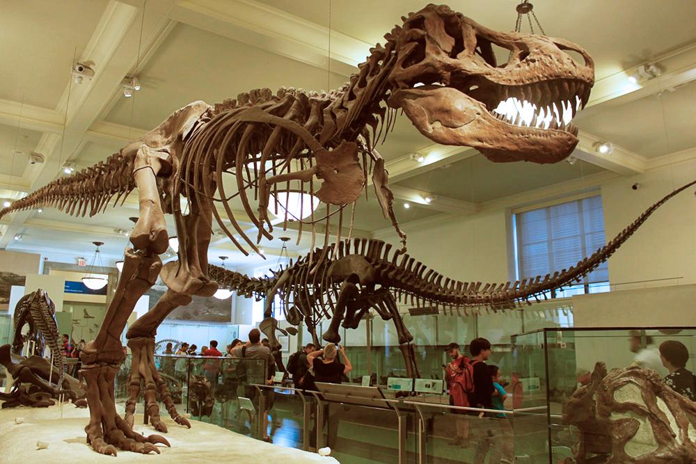 В музее естественной истории можно увидеть настоящий скелет тираннозавра. Из-за сложностей и дороговизны подготовки экспозиции в других музеях чаще выставляют слепки окаменелостей