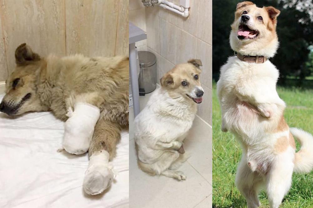 Это пес Вольт. Когда волонтеры его привезли, врачи не были уверены, что получится его спасти. Но пес выжил, приспособился ходить без лап, окреп и уехал в Австрию в новую семью