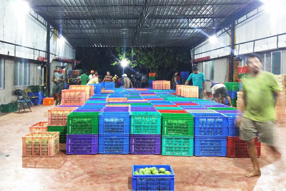 Манго после сборки с полей привозят на склад и готовят к сортировке