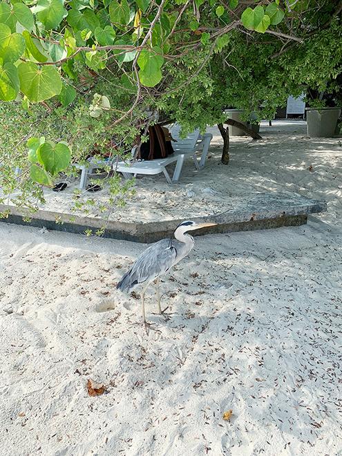 На острове-резорте живут цапли, к ним можно подходить и фотографировать