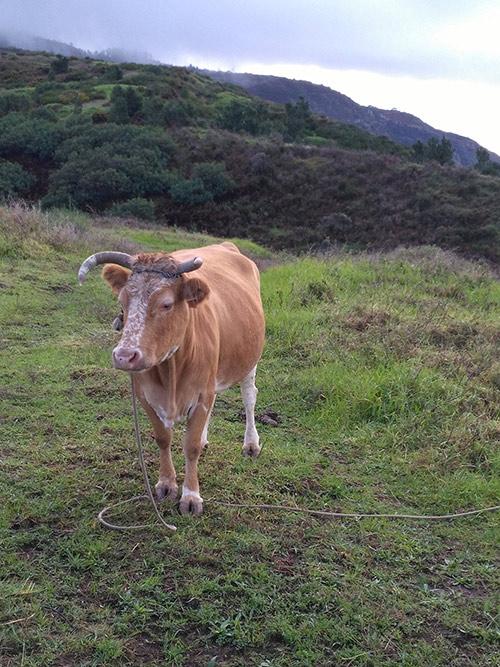 По дороге к водопаду пасутся обычные коровы