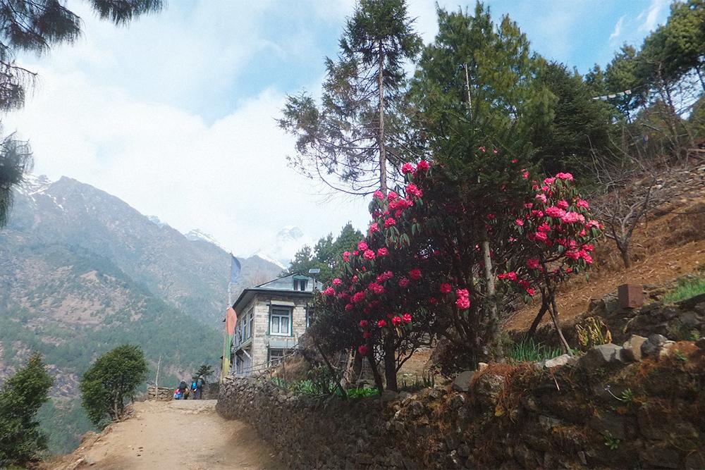 Рододендроны цветут в Непале в марте и апреле на высоте 2000—3000 метров