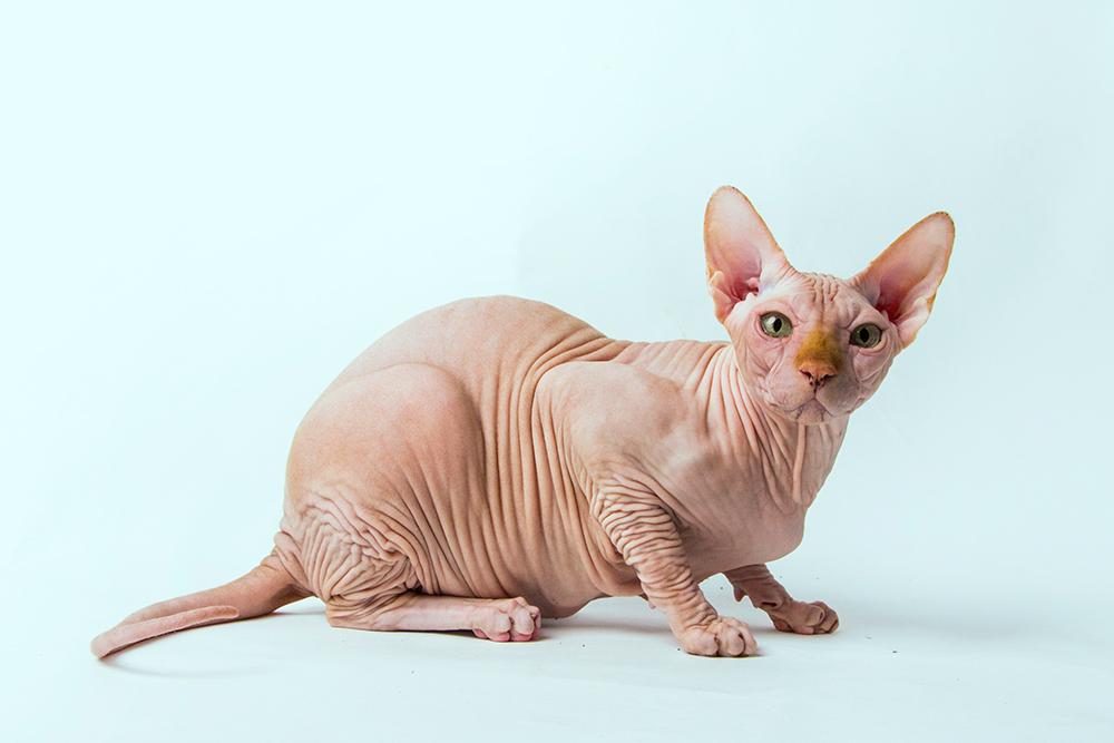 Это не Рамзес, но коты породы сфинкс выглядят так. Честно говоря, я тревожусь за его судьбу, вдруг после суда никому не нужный Рамзес оказался на улице. Фото: Smaragd / Shutterstock