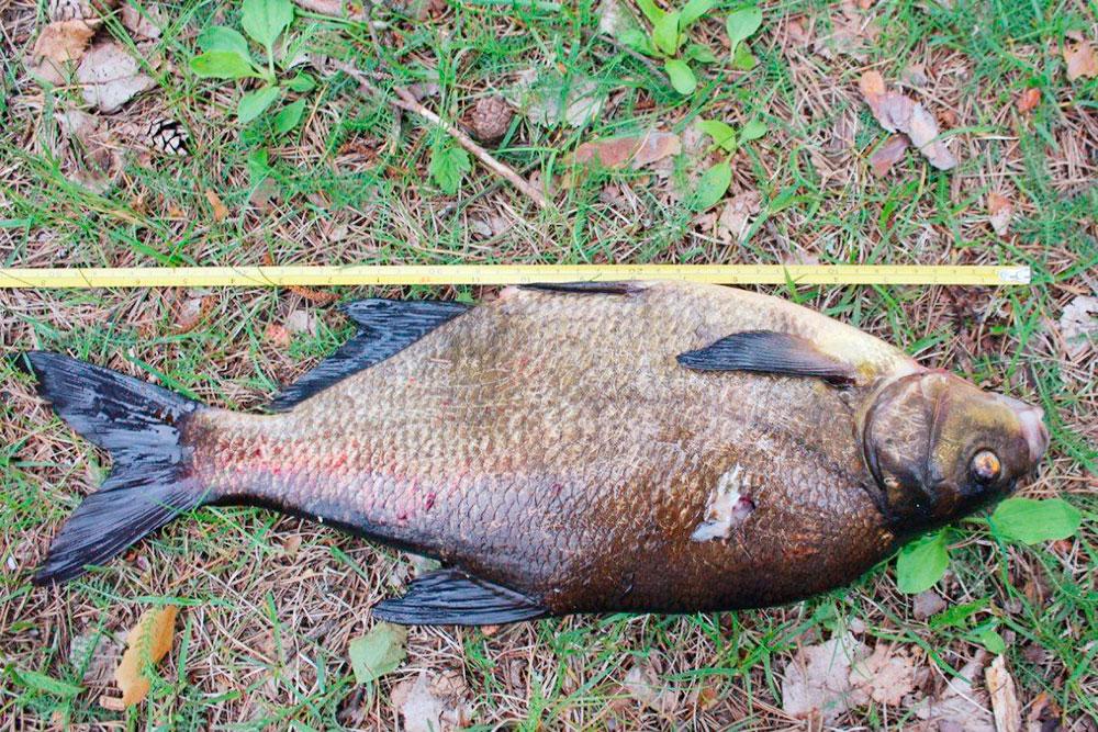 Подводная охота позволяет добыть крупную рыбу. Это лещ длиной 50 см, весом 2 кг