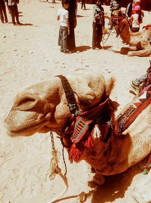 Верблюды в Петре на каждом шагу. Сложно поверить, но эти животные могут разгоняться до 65 километров в час, обходиться без воды пару недель, а без еды — около месяца
