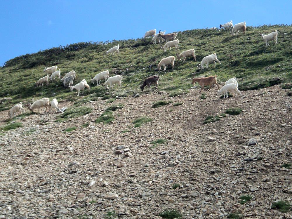 В горах нет коров, зато много коз. Они ловко карабкаются по скалам