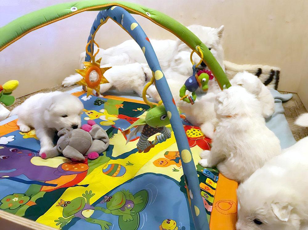 Щенкам развивающий коврик очень нравился. Когда подросли, наловчились срывать игрушки с дуг — тоже развлечение