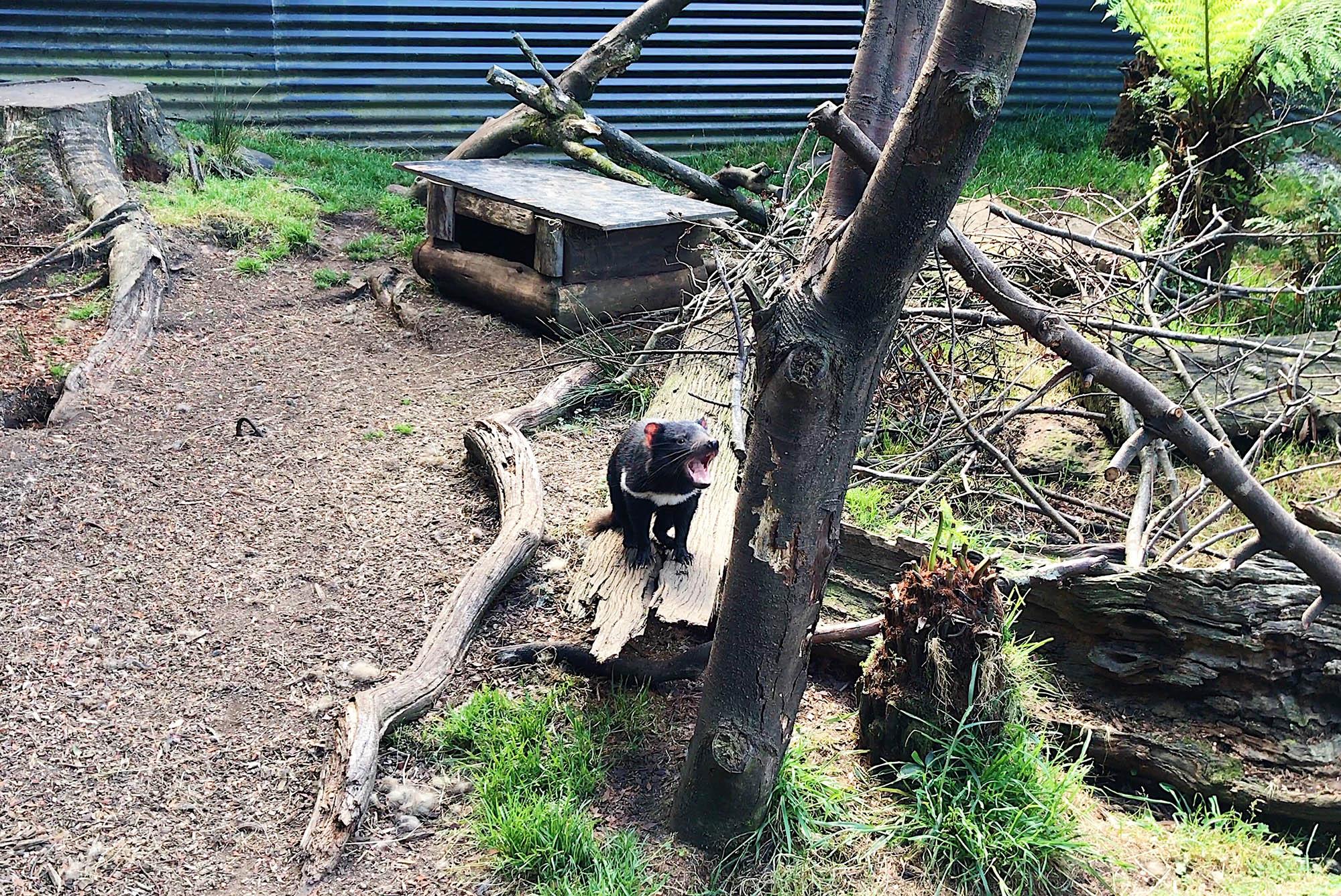 Тасманский дьявол в естественной среде обитания
