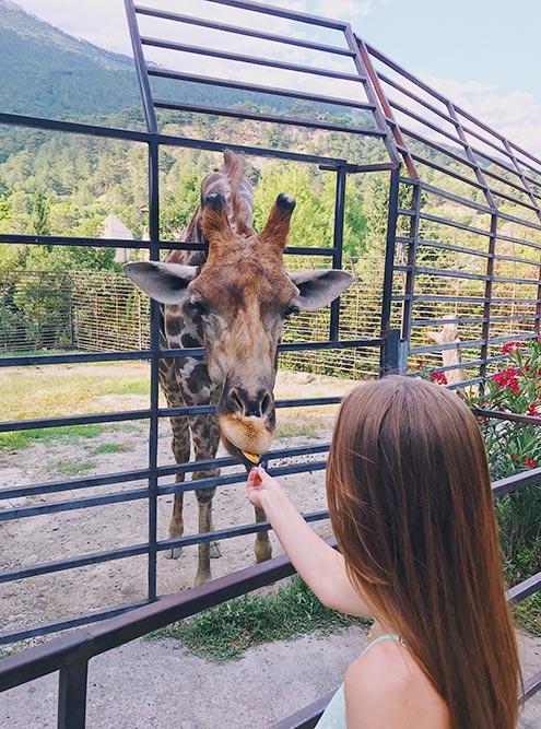 Покормили жирафа с рук