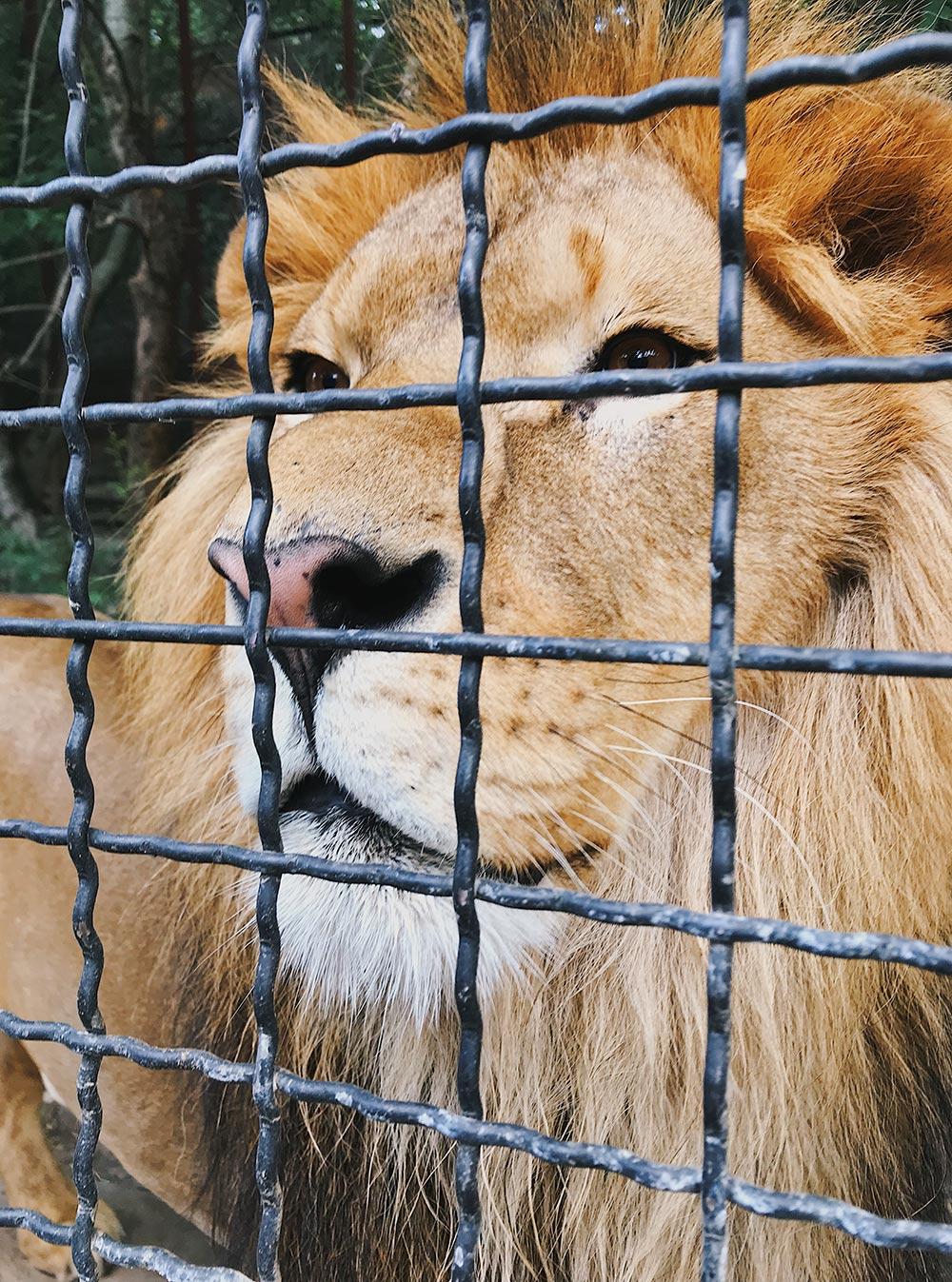 Лев стоял в метре от меня и смотрел прямо в глаза. Нас разделяла только решетка