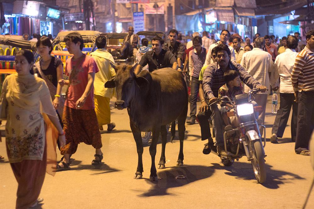 Корова — одно из священных животных Индии. Их нельзя убивать, а на улице им уступают дорогу. Если коровы лежат на перекрестках, их объезжают. Обезьяны, слоны и тигры тоже священны. Фото: Matt Zimmerman/Flickr