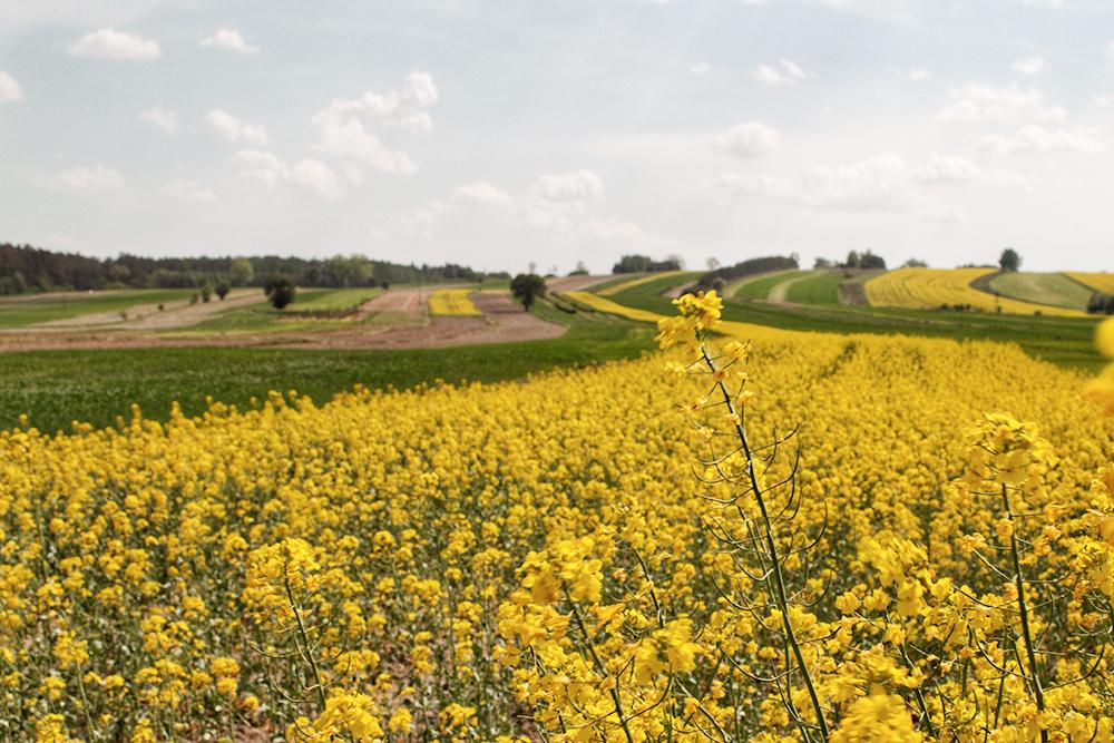 Из рапса в Европе делают биотопливо