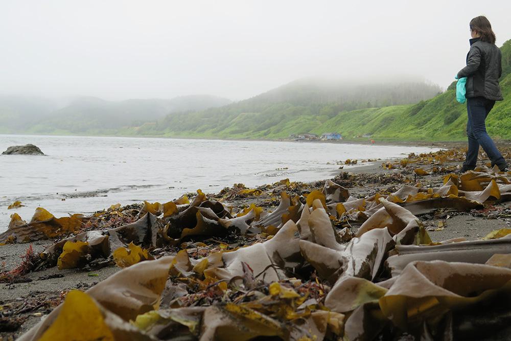 Свежие выбросы ламинарии, которую в народе называют морской капустой, собирают. Ее можно есть