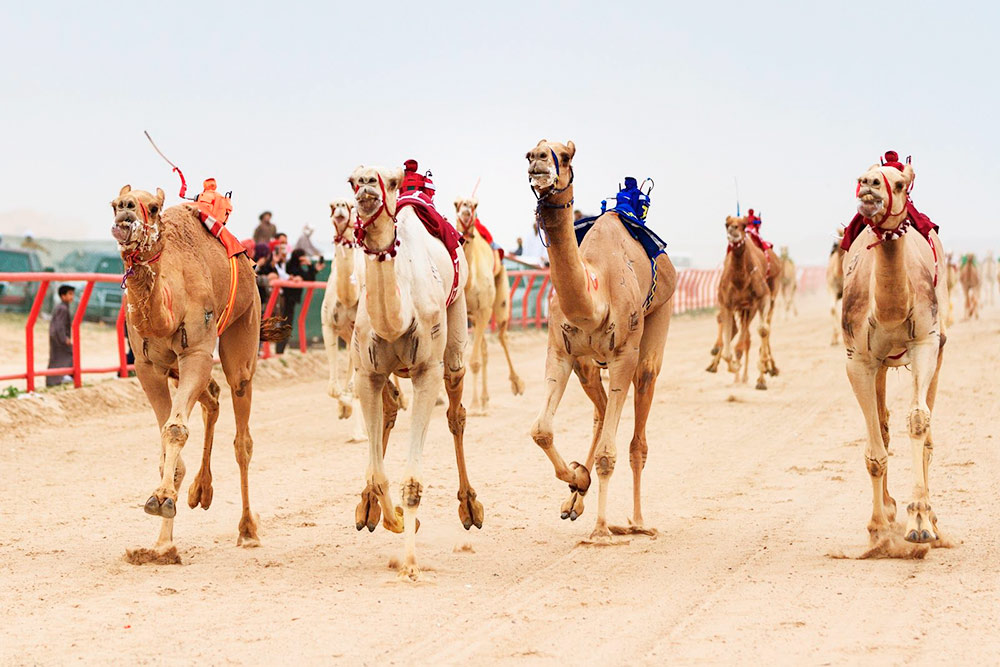 Верблюды заканчивают гонку