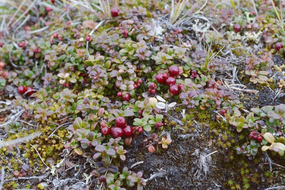 На камнях растет мох, а на нем — брусника