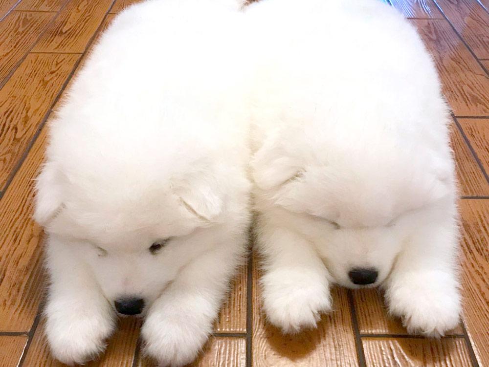 Щенки выглядят близнецами, но за одного из них заплатили на 30% больше