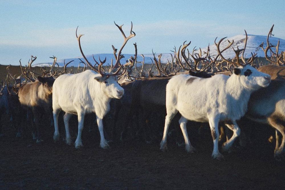 Северный олень — основной ресурс для чукчей. Оленеводство дает человеку пищу, кров и одежду