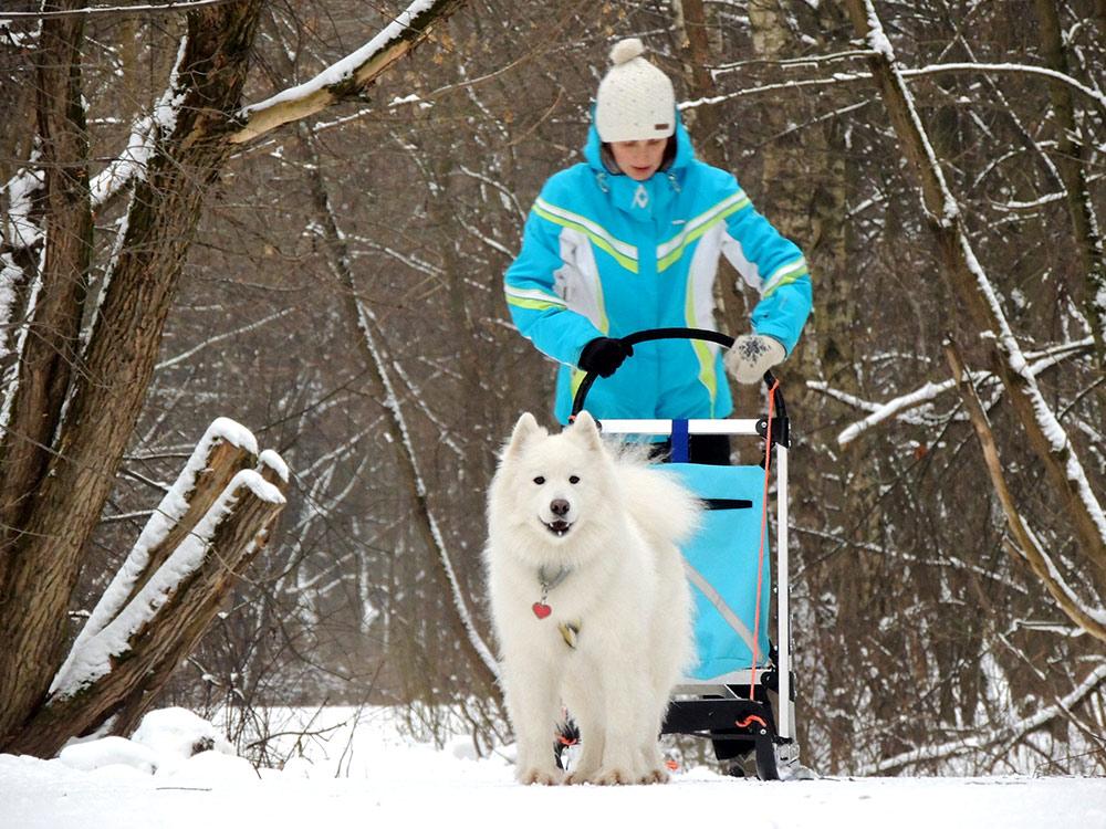 Самоеды еще и ездовые собаки: с полутора лет их можно запрягать в нарты. Наши — на одного человека и стоячие, Лети просто не потянет больший вес