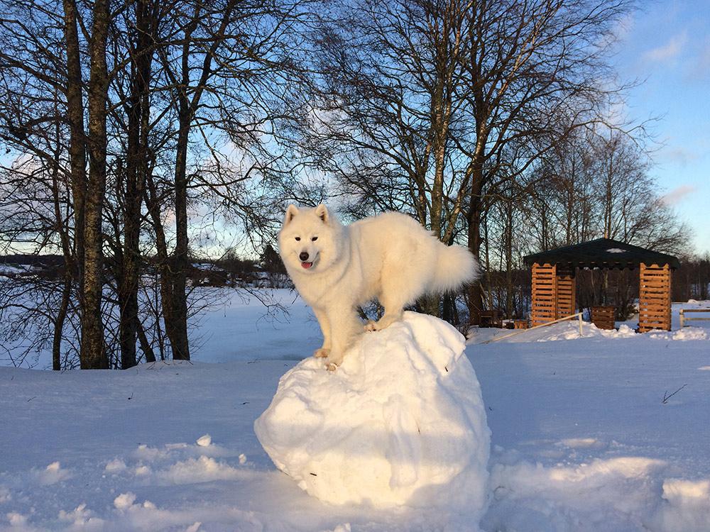 Самоед не мерзнет даже в лютые морозы. С Лети мы без проблем ездили в Карелию зимой, в отдельные дни температура была −35 °C