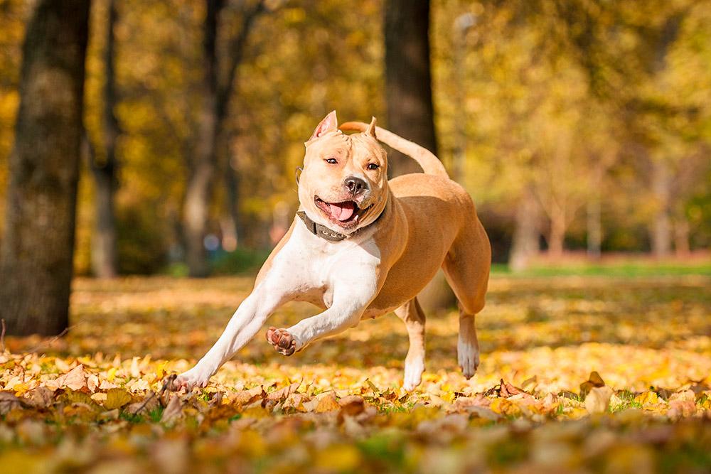 Поскольку у мужа не нашлось доказательств, что он купил стаффордширского терьера до брака, собаку он не получил. Фото: Grigorita Ko / Shutterstock