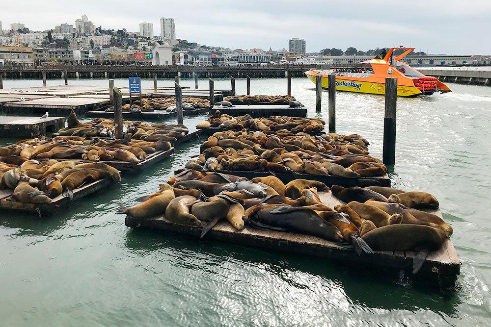 Морские котики отдыхают на набережной в Сан-Франциско, а еще громко кричат и плохо пахнут