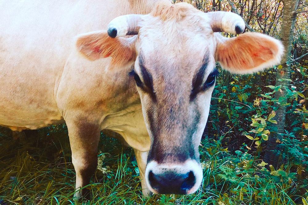 Коровка джерсейской породы. Большинство коров наших фермеров откликаются на кличку Люся