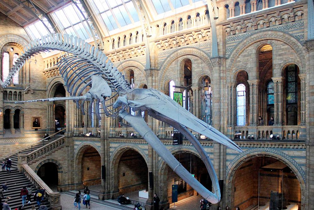 В музее естествознания выставлен огромный скелет кита. Еще там есть большая коллекция скелетов динозавров