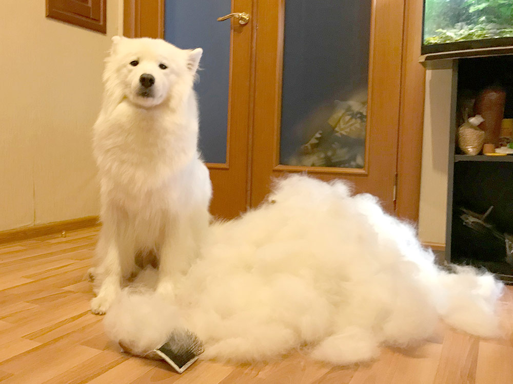 Столько шерсти за один сеанс вычесывания дает не каждая линька самоеда, а только после родов и выкармливания щенков