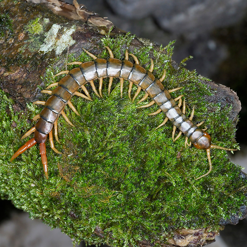 Как правило, днем сколопендры спят или прячутся под камнями или в трещинах, а ночью выходят поохотиться на насекомых и мелких ящериц
