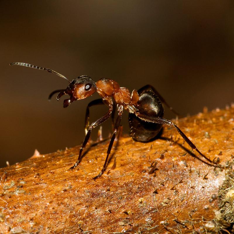 Рыжие муравьи живут в муравейниках различного размера. Их можно встретить практически в любом месте на природе