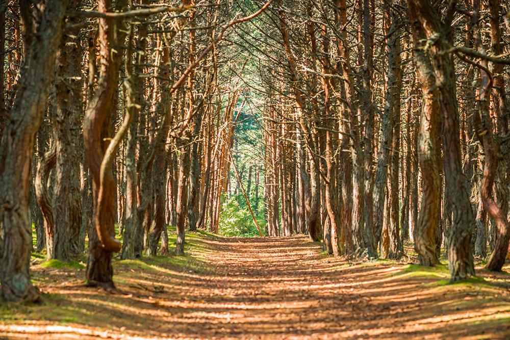 Танцующий лес был посажен в1961году дляукрепления почвы наКуршской косе. Фото: siete_vidas / Shutterstock