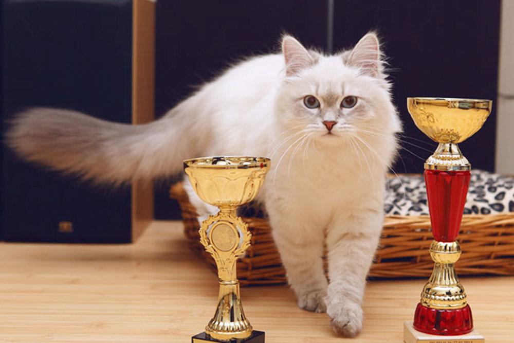 Моя кошка с первыми наградами: в составе помета в ноябре 2020года и как лучший сибирский котенок в январе 2020года