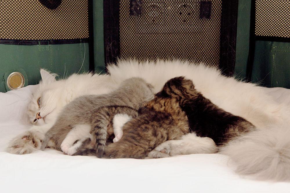 В манеже кошке с котятами очень удобно