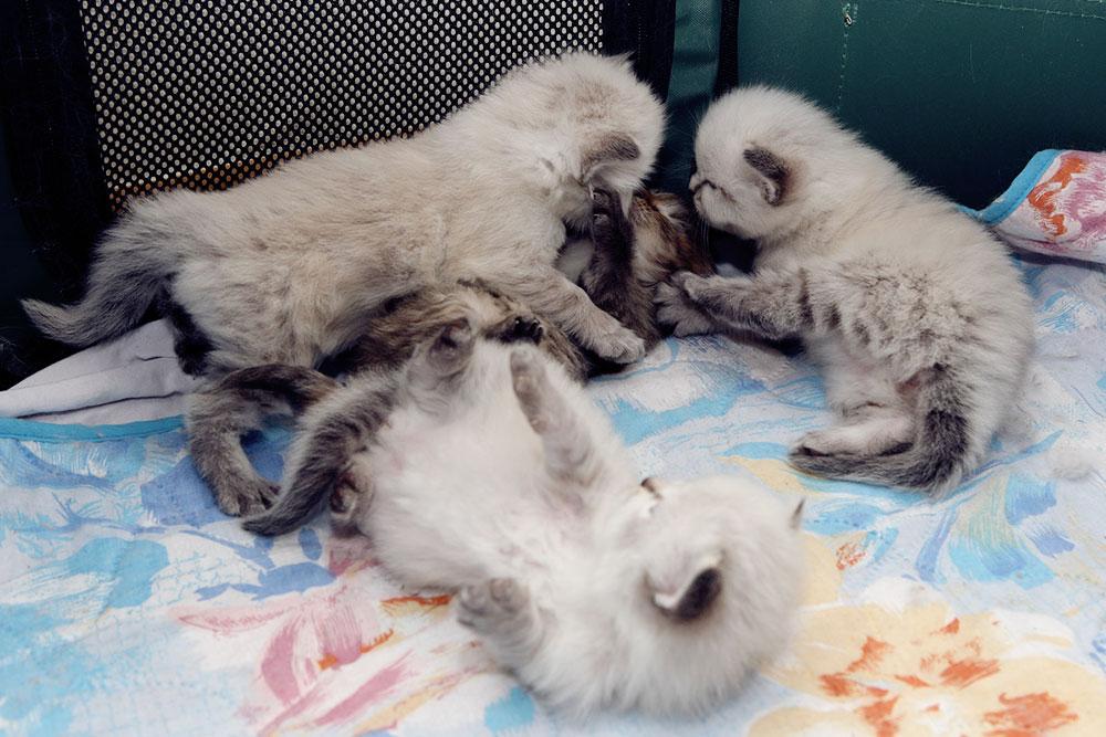 Игры в манеже начинаются, едва котята откроют глаза: это происходит в 12—15 дней